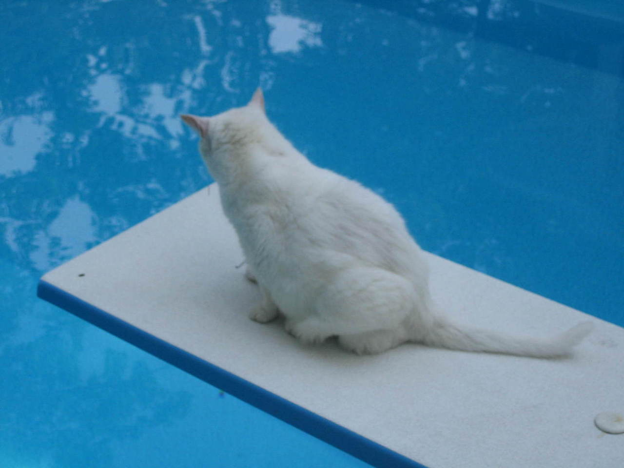 Cat Breeds That Love Water | Here Are The Top 6