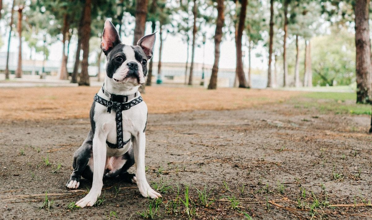 A Pet-Owner's Complete Guide to Boston Terrier Training