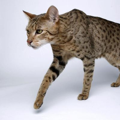 Most Expensive Cat Breeds | 5 of the Most Expensive