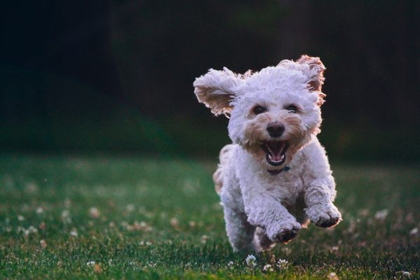 Small hypoallergenic dog breeds. What one is right for you?