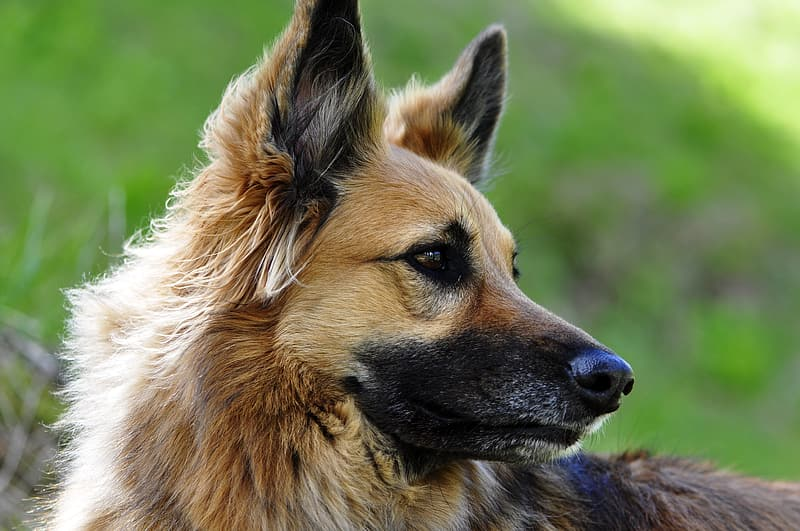 German Shepherd Female Names | The Best List!