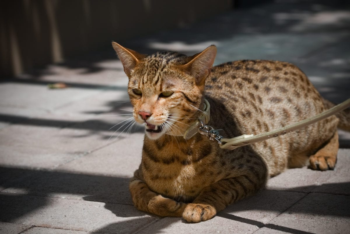 The most expensive cat breed, Ashera cat laying on concrete with a collar and leash on.