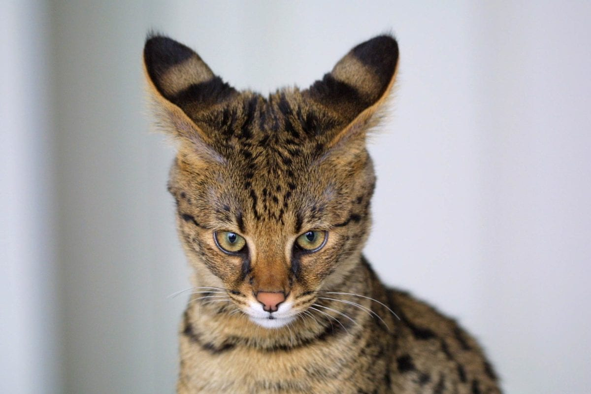 An expensive Savannah cat making eye contact with the camera and pushing its ears back.