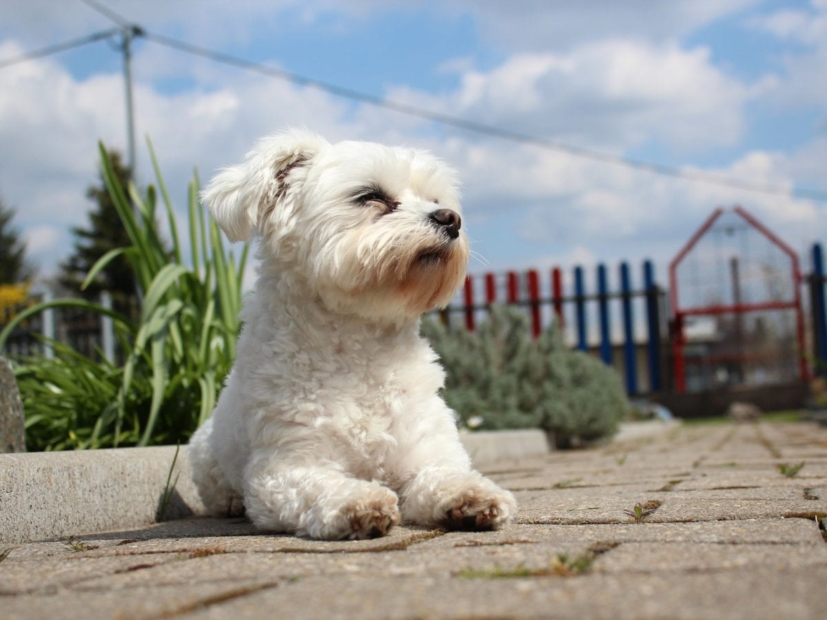 small hypoallergenic dog breeds