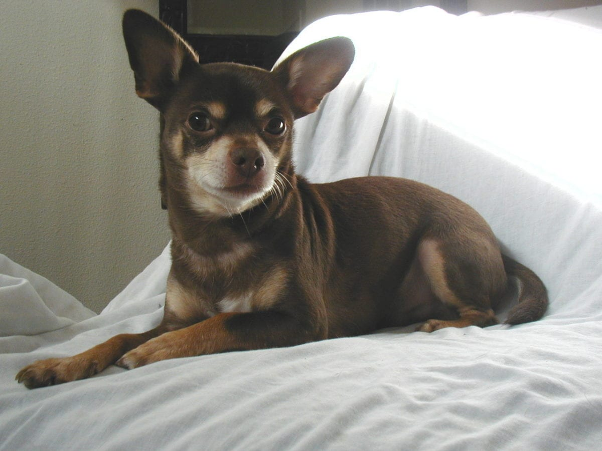 Chihuahua, Which Dog Breeds live the longest
