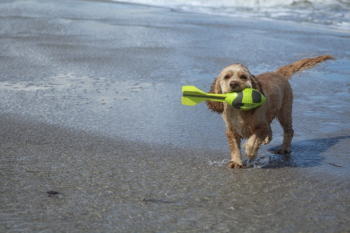 American Water Spaniel playing fetch on the beach