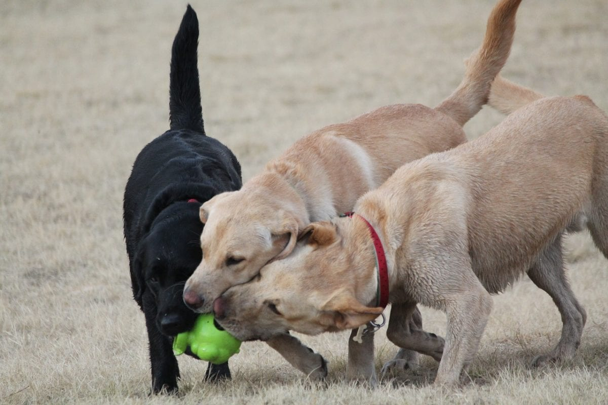Labs are the most popular dog breed in both the US and the UK.