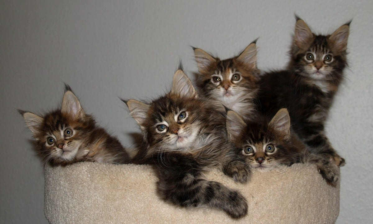 Cat Breeds That Love Water, Maine Coon