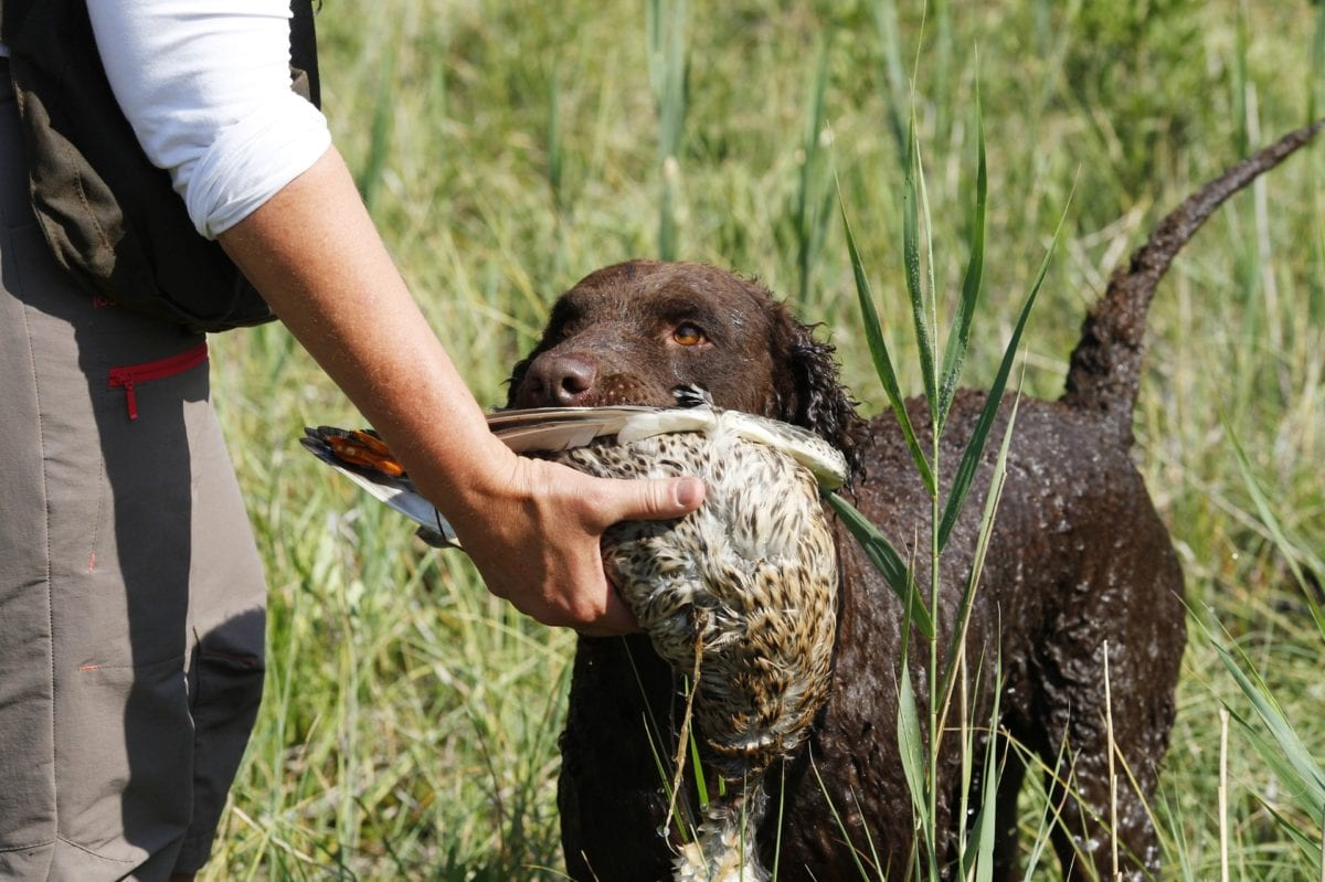 Curly Coated Retriever bringing its prey to its owner.