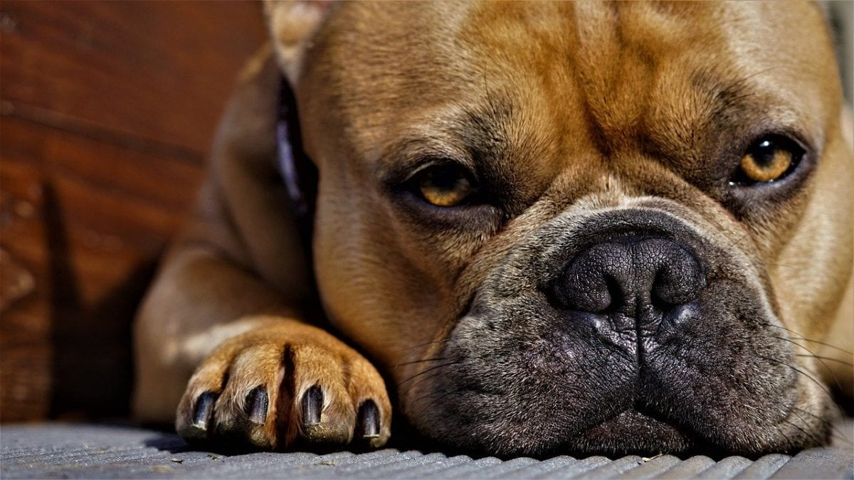 most popular dog breeds in the us