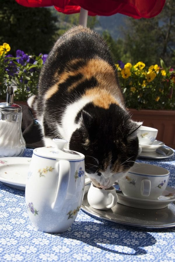 Calico cat drinking cream cup from tea set outside