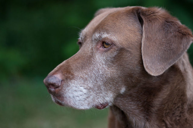 A side profile of a chocolate lab looking off with white fur around his eyes and mouth.