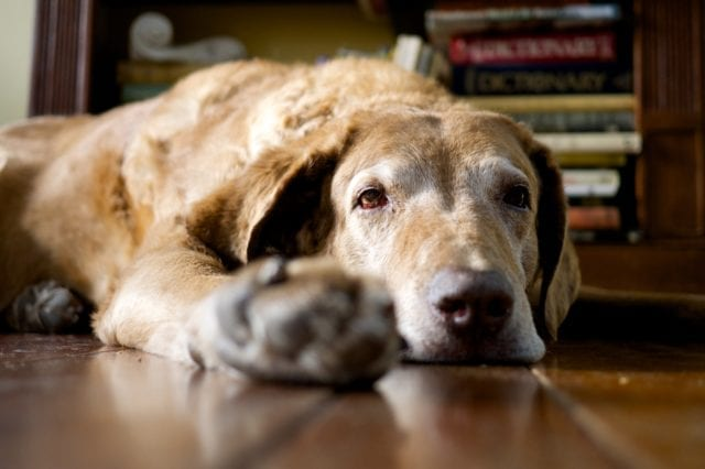 An old brown dog laying on hardwood floor with one paw set farther forward, staring off.