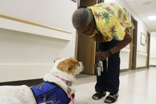 Brown and white small dog in a therapy vest looks up at a woman bending down at him.