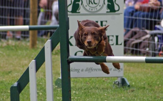 A brown dog jumping over a dark green and white hurdle