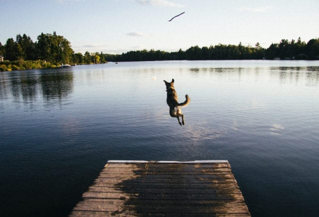 A brown dog jumping off a dock after a stick hovering over water