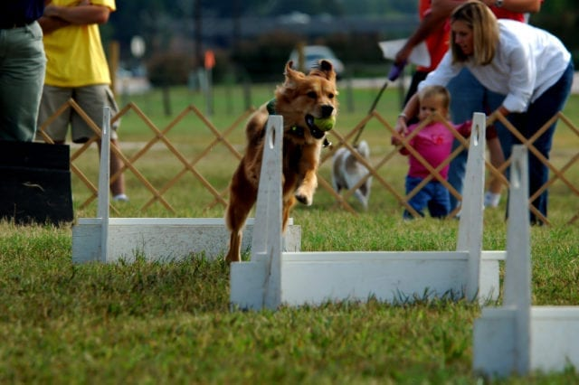 A golden retriever jumping over white hurdles while doing flyball