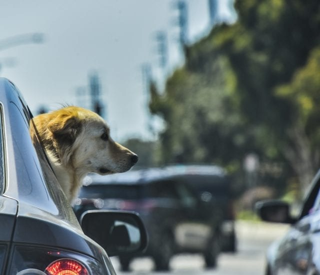 A tan dog sticks its head out of the side window of a car