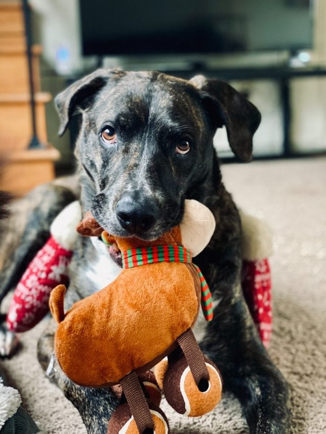 brown and black brindle dog looking at camera with stuffed reindeer in mouth