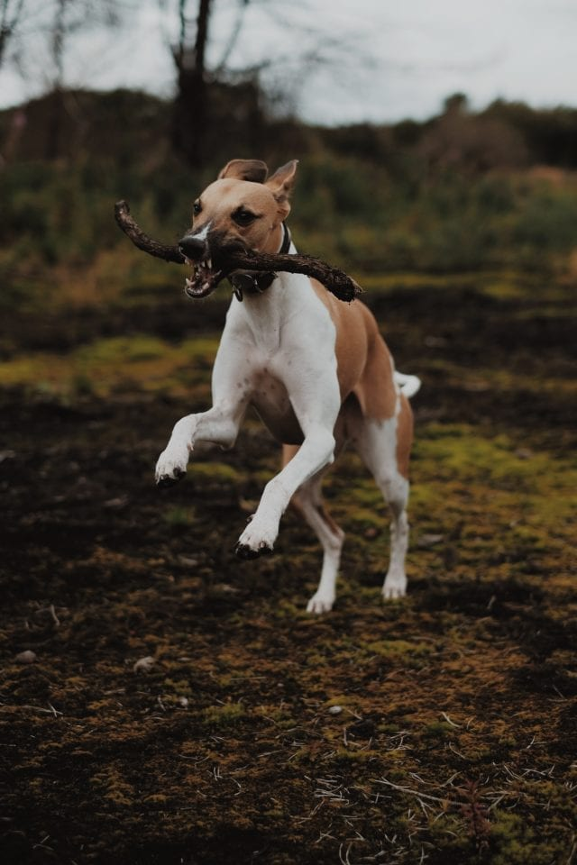 brown and white whippet running with stick in mouth outside