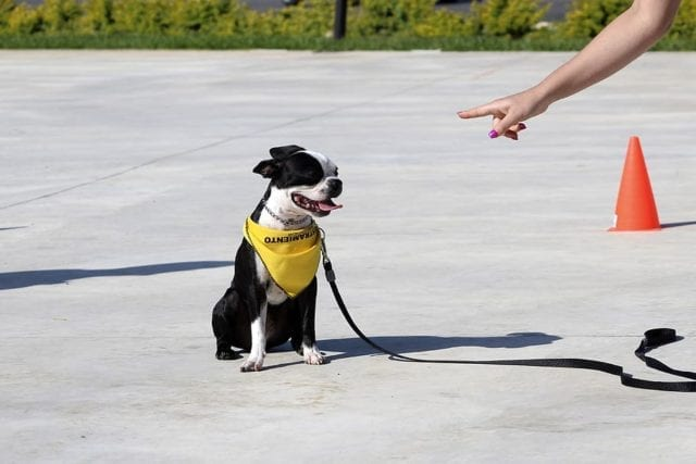 boston terrier sitting on concrete with yellow bandana and hand pointing at it.