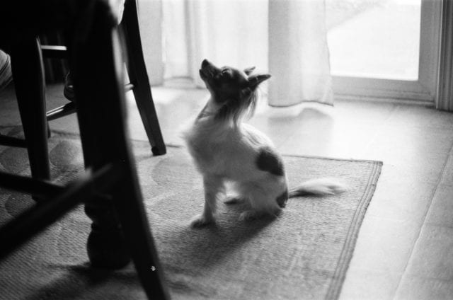 Black and white photo of long haired chihuahua looking up at at table