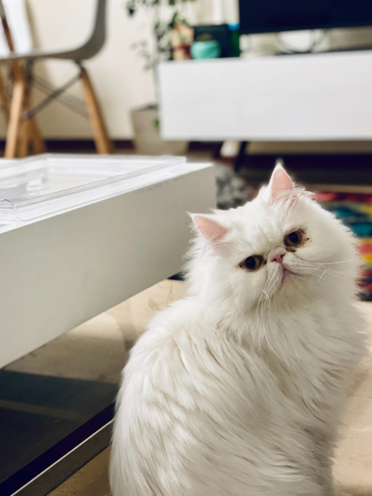 which cat breed is the dumbest