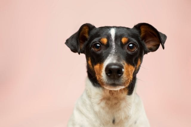 Black, brown, and white Jack Russel Terrier staring into camera with pale pink background