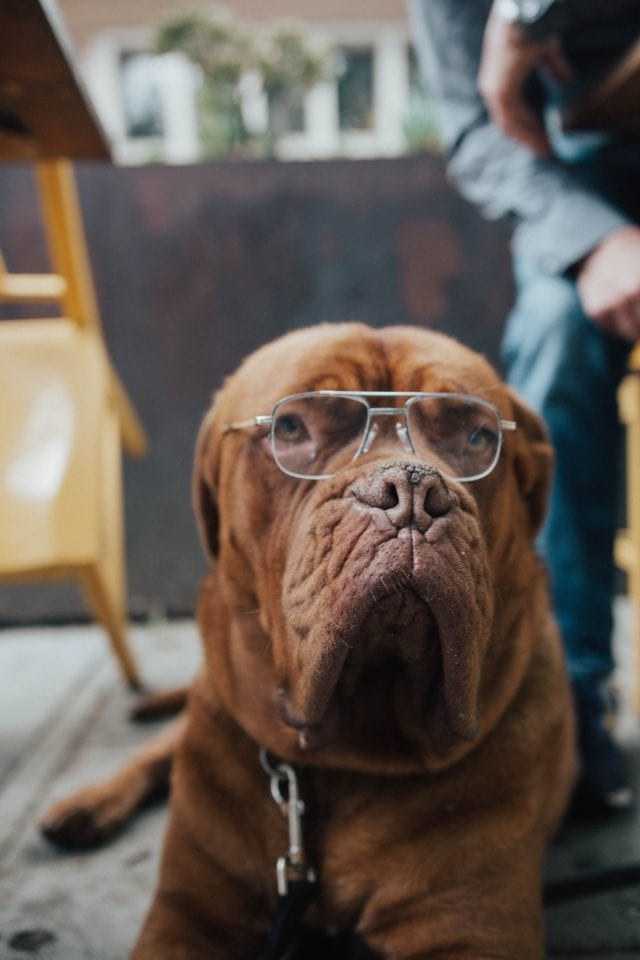 Chocolate brown mastiff with silver glasses on its face