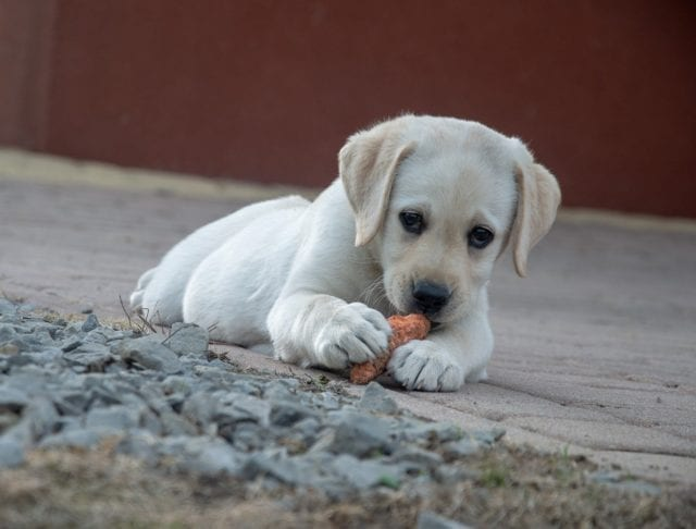 can dogs eat carrots, dog eating carrot